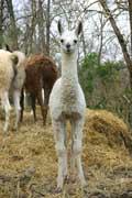 Lama (c) Puget Passion