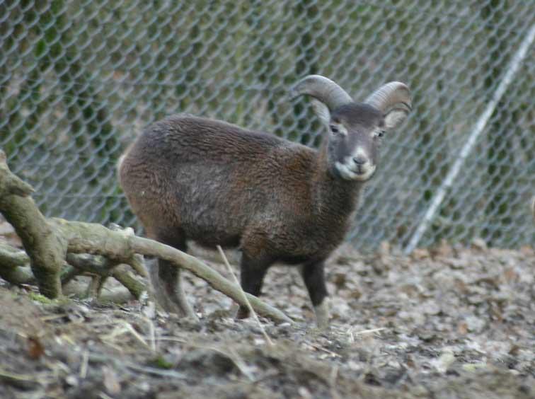 Mouflon Corse (c) www.puget-passion.fr