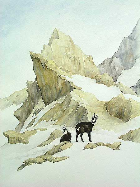 'Chamois en fin d'hiver' (c) Walter Arlaud